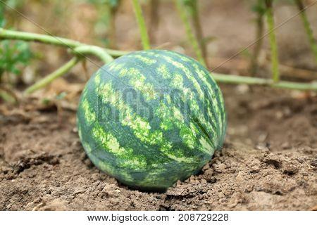 Watermelon in garden