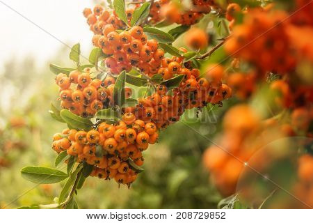 Pyracantha bush berries in late summer, Buckthorn