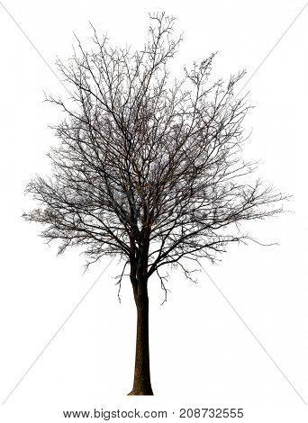 straight bare tree isolated ob white background