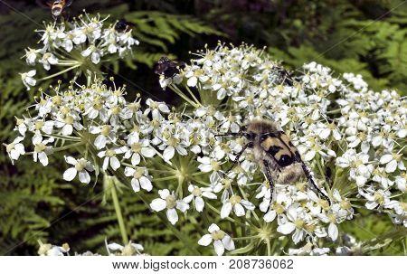 Hairy Bug Like A Bumble Bee