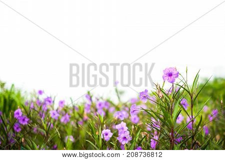 Ruellia tuberosa (Ruellia clandestina) is violet flowers blooming in the garden with sunshine morning for flower background or texture - nature concept.
