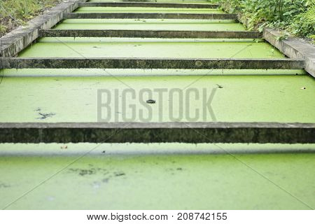 Duckweed is a plant in the water, food for duck and some animals in the nature, green background of duckweed, background of genus lemma