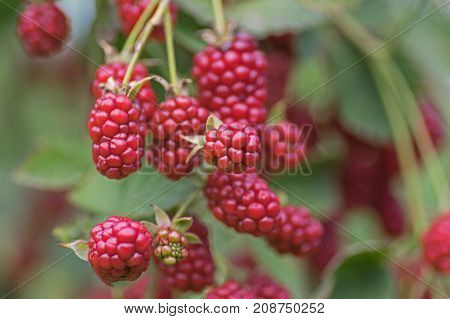 Blackberries ripening on a bush in the garden. Some of them are still immature and red. They are in the vegetation period. It's daytime.