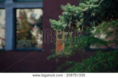 Hemlock Branch In Front Of Yellow Window