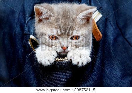 Skottish straity little cute kitten in a denim bag