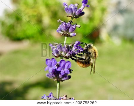bumblebee eating nectar on a lavender flower.