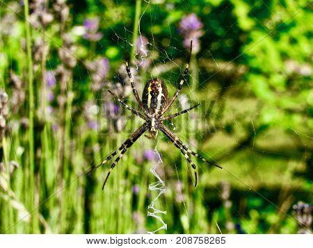 Spider in her net waiting. Braun yellow spider belly view. Green blurry background