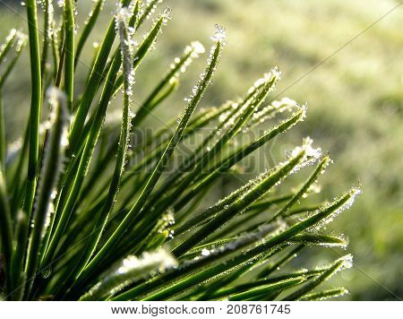 Glittering ice crystals. Hoarfrost crystals glittering on needles of coniferous tree.