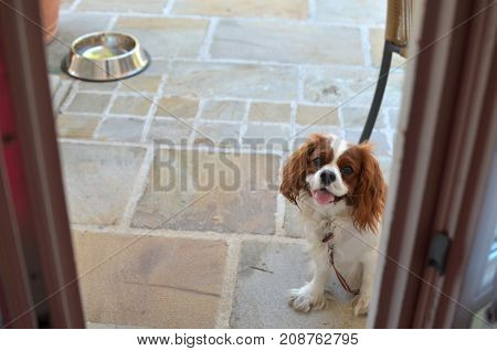 Lovely dog - Cavalier King Charles Spaniel - and its bowl with water behind her