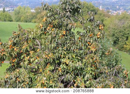 Tree With Ripe Persimmons On The Hill In Autumn