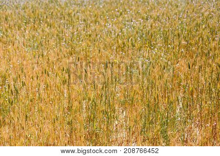 Is A Green wheat ears big background