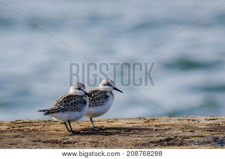 SANDPIPER - Marine birds on the breakwater