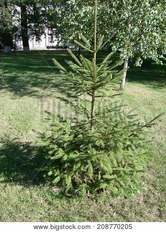 Green Prickly Branches Of A Fur-tree Or Pine. Beautigul Vgreen Fur-tree In The Garden In Summer. Chr