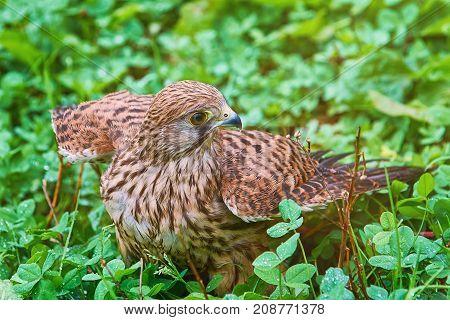 Portrait of Common Kestrel (Falco Tinnunculus) in the Grass
