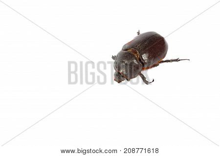 Big Brown Beetle On A White Background. Macro