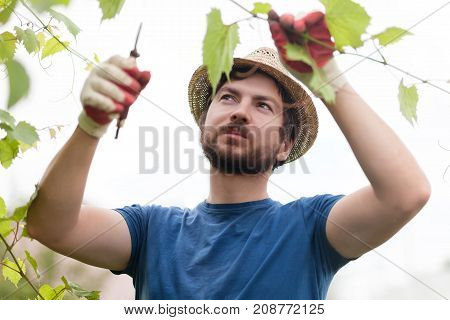 Man wearing gloves and straw hat prune grape brunch with secateur work on a family farm.