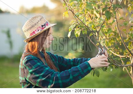 Female farmer wearing straw hat pruning apple tree with secateur in the garden.