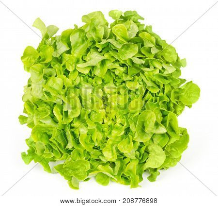 Green oak leaf lettuce front view isolated over white. Also called oakleaf, a variety of Lactuca sativa. Green butter lettuce with distinctly lobed leaves with oak leaf shape. Macro closeup photo.
