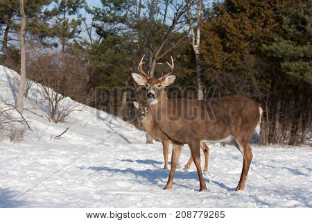 White-tailed deer bucks in the winter snow