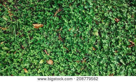 Yellow leaves on the grass in autumn, spring grass on field, view from the top, fallen leaves scattered, autumn background on wild.