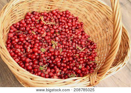 Cranberry with damp moss in wicker basket on wooden floor
