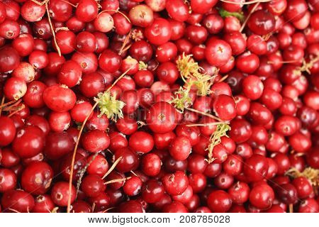 Red cranberry with damp moss closeup view