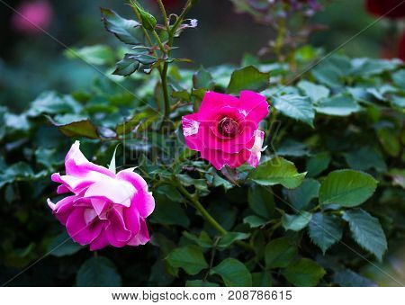 Picture of Roses : With Attached Beauty And Meanings