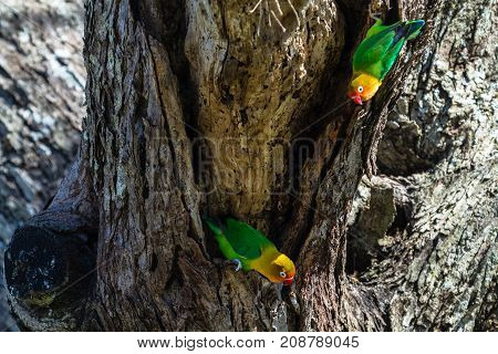 The lovebirds select the nest in the hollow, Serengeti, Tanzania