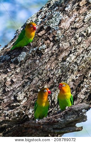 The lorikeet selects the nest in the hollow, Serengeti, Tanzania