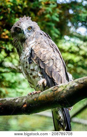 short-toed snake eagle (Circaetus gallicus) sitting on tree