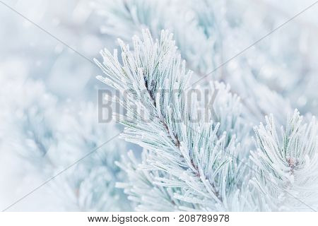 Christmas winter background from pine tree covered with hoarfrost frost or rime in snowfall. Lovely landscape of nature.