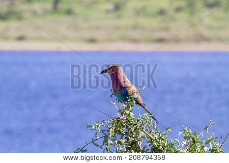Lilac-breasted roller on the tree. Serengeti, Tanzania, Africa