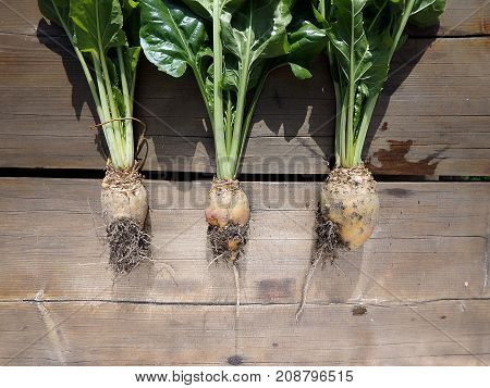 Fodder beet - crop harvest , (Beta vulgaris 'Mangelwurzel')
