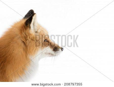 Red fox (Vulpes vulpes) closeup in winter in Algonquin Park