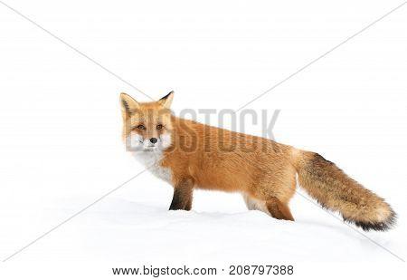 Red fox (Vulpes vulpes) in winter in Algonquin Park