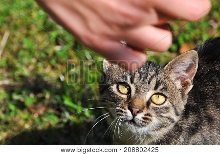 Portrait of  Domestic Cat, Gray cat Looking for food in the grass
