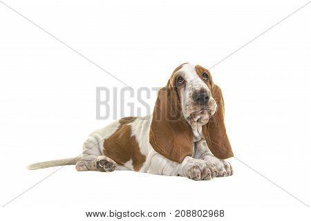 English basset hound puppy lying down seen from the side isolated on a white background