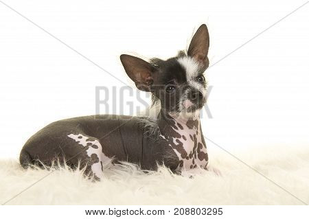 Cute chinese crested puppy dog lying down on a white fur on a white background