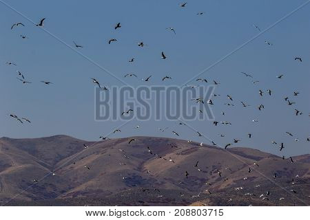 Large groups od seagulls blast off with foothills in the background against a blue sky