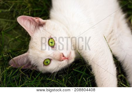 White cat with green eyes is lying down on green grass.