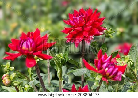 Flower dahlia dekorative Elsie Huston in the garden against a green foliage background close-up. Flower background