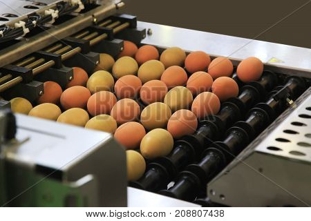 Automated sorting of raw and fresh chicken eggs in a packing facility.