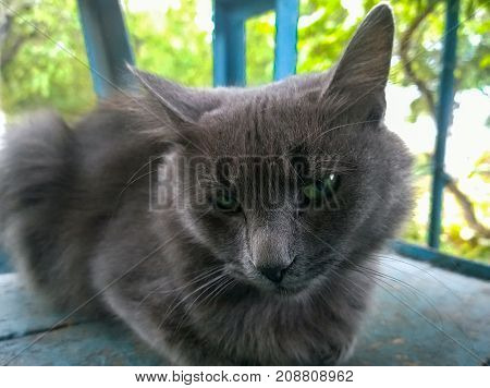 Gray stray cat with greenish eyes and not a good look