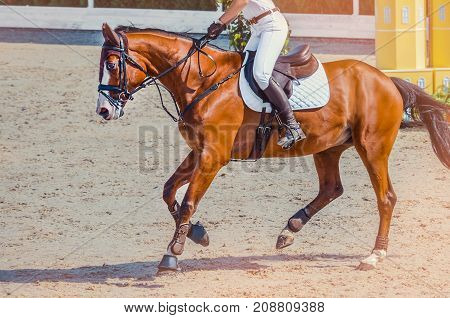 Sorrel dressage horse and rider in white uniform performing jump at show jumping competition. Equestrian sport background. Chestnut horse portrait during dressage competition.