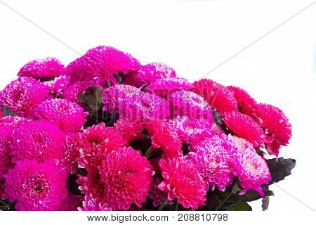 magenta pink chrysanthemum flowers close up isolated on white background