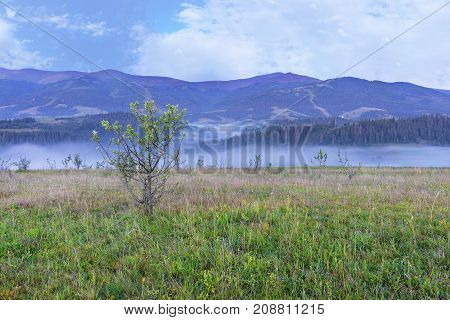 A green meadow and a growing young tree on a hill in the background of the mountains. Blue fog enveloped the morning mountains of the Carpathians