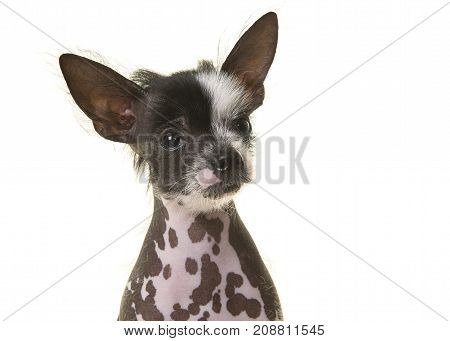 Portrait of a chinese crested puppy dog on a white background