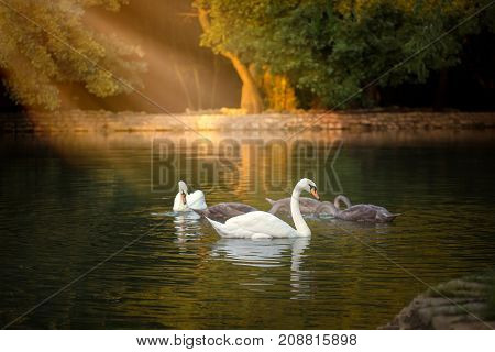 White And Grey Swans Floating On The Pond With The Dark Green Water