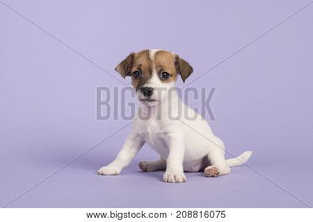 Cute sitting jack russel terrier puppy looking at the camera on a purple background