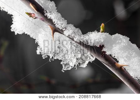 The Buds Of The Tree Close-up Frozen In Ice